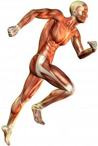 3D Rendering der Muskeldarstellung eines laufenden Mannes.