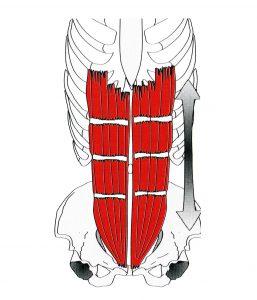 M. rectus abdominis - Gerader Bauchmuskel